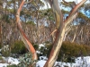 SnowGums_Julie